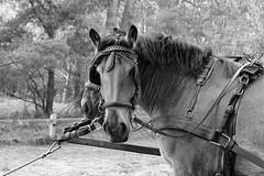 Horsepower | Beauty in Black and White (picsessionphotoarts) Tags: blackandwhite schwarzweiss outdoor countryside darserort nikon nikonphotography nikonfotografie nikond850 norddeutschland afsnikkor80400mmf4556gedvr ostsee balticsea fischlanddars dars autumn anderküste onthecoast herbst horse horsepower blackbeauty tierportrait animalportrait