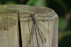 K32P9949c Willow Emerald, Lackford Lakes, October 2019 (bobchappell55) Tags: chalcolestesviridis lackfordlakes suffolk damselfly insect nature wild wildlife willowemerald