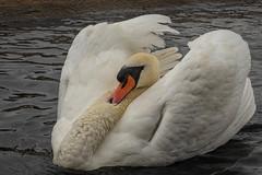 2U5A6560.jpg (Parapan) Tags: wildlife birds canon7dii wwt