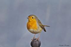 IMG_8173 (natalia.kaszura) Tags: robin bird birds birdwatching wildbird wildlife wild wildnature wildanimal