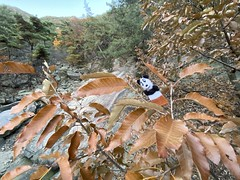 Catching the autumn wind (Panda Mery) Tags: animal panda korea seoul fingerpuppet gwanaksan