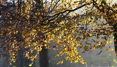 Novembermorgen auf Brunsholm; Bergenhusen, Stapelholm (2) (Chironius) Tags: stapelholm bergenhusen schleswigholstein deutschland germany allemagne alemania germania германия niemcy laub herbst herfst autumn autunno efteråret otoño höst jesień осень wald forest forêt лес bosque skov las rosids fabids buchenartige fagales buchengewächse fagaceae fagoideae buchen baum bäume tree trees arbre дерево árbol arbres деревья árboles albero rotbuche faia kayın beuken бук bok árvore ağaç boom träd fagus