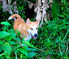 ,, On Patrol ,, (Jon in Thailand) Tags: eyes dogeyes pumpkin pumpkinthebumpkin rescueddog dogrescue dog k9 jungle dogsmile snakehunting nikon nikkor d300 175528 orange pink dogtail dogears orangedog bananatrees littledoglaughedstories