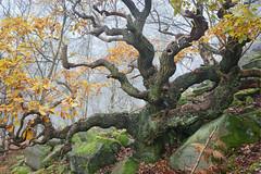 Twisted tales II (J C Mills Photography) Tags: peakdistrict derbyshire outdoors tree forest oak rocks moss fantasy autumn fall mist leaves nature landscape woodland creepy fairytale ancient sessile