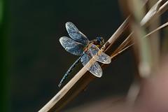 20190904_581c (novofotoo) Tags: blau grün insekten libelle natur schilf tiere animals blue dragonflies green insects herbstmosaikjungfer aeshnamixta migranthawker