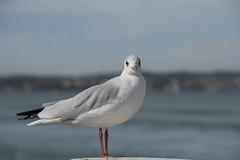 La mouette (Titole) Tags: mouette seagull titole nicolefaton shallowdof