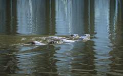 Family Outing (Fourteenfoottiger) Tags: otter ottercub reflections nature wildlife wildanimal semiaquaticmammal swimmin otterfamily river britishcountryside britishwildlife mammal ripples textures patterns blue lutralutra