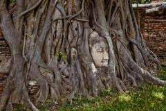 Ayutthaya – Buddha head in Banyan tree (Thomas Mulchi) Tags: ramapublicpark ayutthayahistoricalpark phranakhonsiayutthayadistrict thailand 2019 wat buddhism buddhisttemple temple buddhahead banyantree buddha phranakhonsiayutthaya