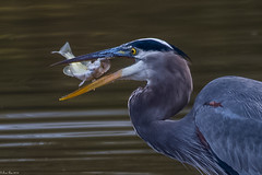 Catch of the day (Fred Roe) Tags: nikond7100 nikonafsnikkor200500mm156eed nature naturephotography national wildlife wildlifephotography animals birds birding birdwatching birdwatcher birdwithprey heron greatblueheron ardeaherodias colors outside flickr peacevalleypark
