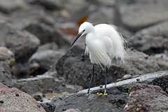 0205_little_egret (Realmantis) Tags: egret bird seabird rock wildlife