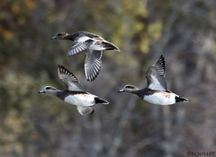 11081975486asmweb (ecwillet) Tags: wigeon americanwigeon duck wildwoodparkharrisburgpa nikon nikond500 nikon200500f56 ecwillet ericwillet