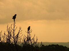 Sempre juntos! (Ruby Augusto) Tags: pássaros birds sunset pôrdosol silhuetas silhouettes
