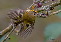 JWL2232  Goldcrest... (Jeff Lack Wildlife&Nature) Tags: goldcrest goldcrests avian animals animal birds bird songbirds wildlife wildbirds wetlands woodlands woodland wildlifephotography warblers warbler jefflackphotography gardenbirds glades gorse countryside copse heathland hedgerows heathlands heaths moorland marshland marshes meadows moors brambles bushes nature naturephotography nikon ornithology farmland forest forests forestry trees pineforest pines ngc