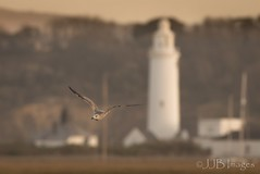 Gull in front of Lighthouse (JJB Images) Tags: amazingnature beautiful canon countryside closeup canon1dxmkii canonef600mmf4isl detailed eos england focus fuji gitzo interesting image is iso jjbimages wwwjjbmagescom lumix lovelylight minolta nikon nature natural panasonic pretty picturesque tamron usm wildlife xl zoom zoomed