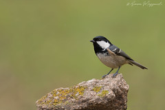 "Novità ""mora"" (Simone Mazzoccoli) Tags: wild wildlife nature natura animali animals bird birds birdwatching uccelli bokeh background winter inverno tit cincia"