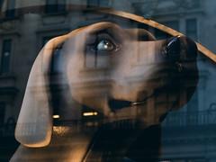 Puppy dog eyes (Chris Hamilton Photography) Tags: coventgarden p7100 reflection dog hound photography london urban animal