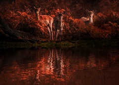Looking at you-Looking at me. (neil 36) Tags: deerscape woodlands fawns autumncolour lakeside reflactions yorkshire floods england wildlife nature outdoors nikon d7200