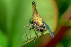 Cone-head beetle (?) (Lr Home) Tags: a6000 macro nature sel30m35 beetle