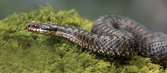 Adder (Vipera berus) (Mr F1) Tags: wild adder snake johnfanning closeup scotland woodland reptile slither scales wildlife nature naturalhistory outdoors