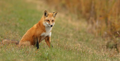 Red Fox...#167 (Guy Lichter Photography - 5.2M views Thank you) Tags: canon 5d3 canada manitoba wildlife animal animals mammal mammals fox redfox