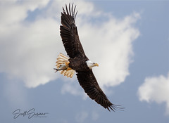 Fish on Board... (DTT67) Tags: baldeagle eagle conowingo maryland 1dxmkii canon raptor bird nature wildlife