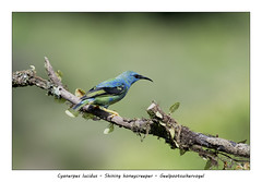 Shining honeycreeper #4 (Jan H. Boer, Nature photographer) Tags: cyanerpeslucidus shininghoneycreeper geelpootsuikervogel birds honeycreepers nature wildlife portrait costarica bocatapada nikon d500 afsnikkor200500f56eedvr jan´sphotostream2019