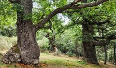 El bosque encantado (Luisa Gila Merino) Tags: árbol bosque monte montaña roble hojas
