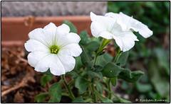 _DSF0700.jpg (DrOpMaN®) Tags: colorefexpro xe2 m43turkiye korhankumral xc1650mm flowersplants fuji outdoor google xc1650mmf3556ois fujifilm düzce düzceprovince turkey
