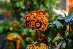 Flowers (ost_jean) Tags: flowers bloemen fleurs nikon d5200 350 mm f18 bokeh ostjean
