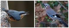 Kleiber & Eichelhäher (peterphot) Tags: vögel birds eichelhäher kleiber sachsen sony