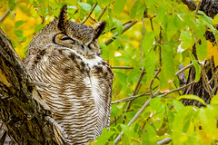 1293 At Rest (paule48) Tags: action ajo animal arizona bird ghow nikon usa fallcolors owl panorama raptor sleeping wavy
