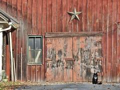 Guarding the gate... (Jane Lazarz Nature Photography) Tags: walkingnewengland janelazarz massachusetts nikonp900 nikon new massachusettsautumn autumn newenglandcountryside westernmassachusetts nikonnature autumninnewengland cat kitty oldbarn barn redbarn barndoors wilbrahamma