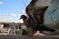 punch a higher floor (KevinIrvineChi) Tags: pigeon popcorn canon mark powershot ii g7x eye feet dance head dove paloma palomita dande sky urban chicago bird window birds alley bokeh balcony wing feathers avian albanypark city illinois cookcounty
