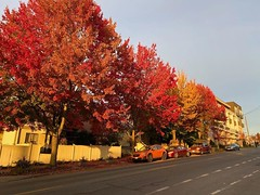 Parked cars in autumnal colors under autumn trees (Seattle Department of Transportation) Tags: seattle sdot transportation street trees autum fall colors orange red pretty car parking onstreet instagram