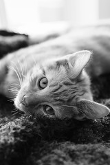 Archie 27 - Comfort (A Clockwork Symphony) Tags: ginger cat kitten content relaxed pet petphotography adapted lens