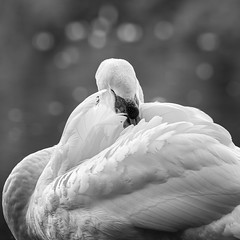 Timide (LonánWL) Tags: canoneos200d sigma70200f28dgoshsmsports nature noiretblanc noirblanc monochrome blackandwhite blackwhite blackwhitephotos oiseau bird cygne swan outdoor dehors outside eau water feather plume lac étang pond lake portrait