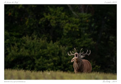 Le brame (BerColly) Tags: france auvergne cantal cerf stag forest forêt bokeh bercolly google flickr