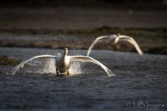Swans coming in to land (JJB Images) Tags: amazingnature beautiful canon countryside closeup canon1dxmkii canonef600mmf4isl detailed eos england focus fuji gitzo interesting image is iso jjbimages wwwjjbmagescom lumix lovelylight minolta nikon nature natural panasonic pretty picturesque tamron usm wildlife xl zoom zoomed