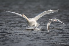 Swan being photobombed by a Gull (JJB Images) Tags: amazingnature beautiful canon countryside closeup canon1dxmkii canonef600mmf4isl detailed eos england focus fuji gitzo interesting image is iso jjbimages wwwjjbmagescom lumix lovelylight minolta nikon nature natural panasonic pretty picturesque tamron usm wildlife xl zoom zoomed