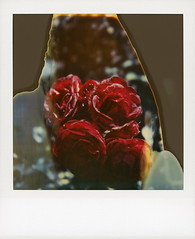 TZ Roses (tobysx70) Tags: polaroid sx70 timezero time zero expired instant film 0906 tz roses gower street beachwood canyon hollywood hills los angeles la california ca rose rosa flower plant petal rosebud rosaceae red bokeh divot flames toby hancock photography