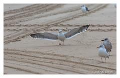 """Give me a hug !!!..."" (Joao de Barros) Tags: joão barros seagull nature wild bird humor"