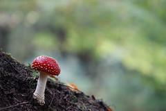 Amanita Muscaria (visualstripes) Tags: amanitamuscaria mushroom toadstool fungi fungus nature forest autumn canon77d canon canon100mmmacrol28 wideopen bokeh 2019