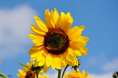 Eye-catching (DameBoudicca) Tags: solros sunflower sonnenblume tournesol giraso girasole 向日葵 bi bee biene abeja abeille 花蜂 はなばち