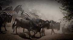 Crosing (Nigey2) Tags: migration animal animals canon wildebeest zebra wildlife wild wildlifeconservation wildanimals kenya