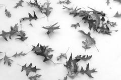 Leaves On Snow (Modkuse) Tags: snow leaves nature natural art artphotography photoart artistic artisticphotography fineartphotography fineart cloudyday acros acrossimulation xt2acros fujifilmxt2acrossimulation fujifilm fujifilmxt2 fujinon xt2 fujinonxf35mmf2rwr xf35mmf2rwr straightoutofcamera sooc nopostprocessing monochrome bw blackandwhite