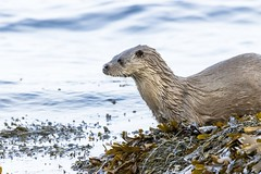 Otters feeding and playing (ejwwest) Tags:
