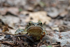 What are you looking at? (Obas123) Tags: nature animal frog amphibian