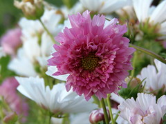 Pink Cosmos (swetlanahasenjäger) Tags: macroflowerlovers blume cosmeagefüllt flower cosmosfilled sommer summer inselusedom mecklenburgvorpommern deutschland coth alittlebeauty coth5 sunraysshowcaseaward fantasticnature ngc npc saariysqualitypictures