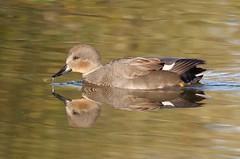 Gadwall (PhotoLoonie) Tags: gadwall duck waterbird dabblingduck attenboroughnaturereserve wildlife nature