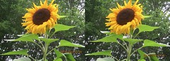 20141021_2120 side_by_side (wi-photos) Tags: fall sunflower 3d stereoscopic colors red orange yellow trees nature maple leaves autumn